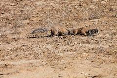 Южно-африканская земная белка, Kalahari Стоковая Фотография