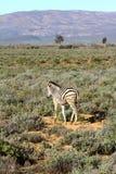 Южно-африканская уединённая зебра Стоковые Изображения RF