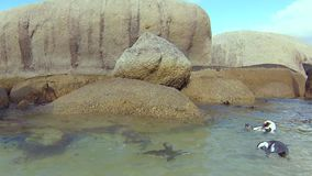 Южно-африканские пингвины подводные сток-видео