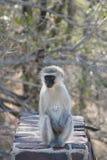 Южно-африканские приматы стоковое изображение rf