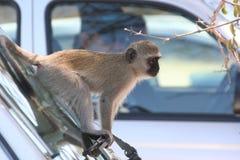 Южно-африканские приматы стоковая фотография rf