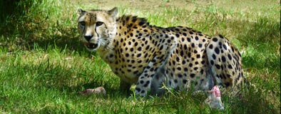 Южно-африканский гепард есть добычу Стоковые Фотографии RF