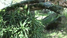 Южно-африканский гепард идя в саванну акции видеоматериалы