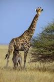 Южно-африканский женский жираф, национальный парк Etosha, Namibi Стоковое Изображение