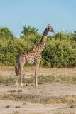 Южно-африканский жираф в кусте смотря на камеру Стоковые Фотографии RF