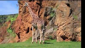 Южно-африканский жираф сток-видео