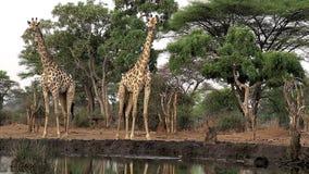 Южно-африканский жираф, camelopardalis giraffa giraffa, группа на водопое, около реки Chobe, Ботсвана, акции видеоматериалы