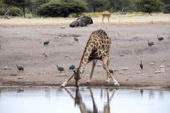 Южно-африканский жираф, giraffa giraffa Giraffa, выпивая в waterhole, национальный парк Etosha, Намибия стоковая фотография