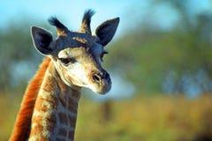 Южно-африканский младенец жирафа, запас игры Mkhaya, Свазиленд Стоковое Фото