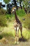 Южно-африканский младенец жирафа, национальный парк Kruger, южно-африканское Repub Стоковое Изображение RF