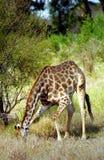 Южно-африканский младенец жирафа, национальный парк Kruger, южно-африканское Repub Стоковая Фотография