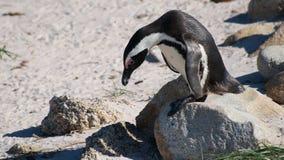 Южно-африканский пингвин стоковые изображения