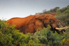 Южно-африканский слон в естественных условиях стоковые фотографии rf