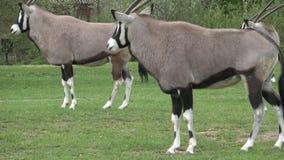 Южно-африканский gazella сернобыка сернобыка, красивая антилопа сток-видео