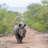 Южные белый носорог и жираф в национальном парке Kruger, Южной Африке стоковое изображение rf