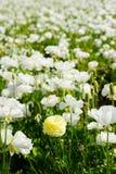 Южные поля цветка Калифорнии Стоковые Фотографии RF