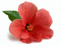 южные цветки и бутоны гибискуса шарлаха Стоковые Фотографии RF