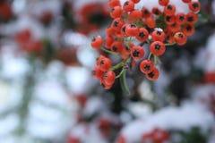 Южные ягоды на кустах Стоковое Изображение