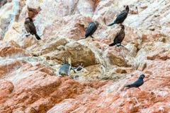Южный - американские пингвины плавают вдоль побережья на ресервировании Paracas национальном, Перу Стоковая Фотография