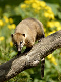 Южный - американский коати на ветви Стоковые Изображения