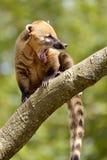 Южный - американский коати на ветви Стоковое Изображение RF