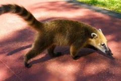 Южный - американский коати на Игуазу Фаллс стоковые фото