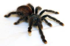 Южный - американский розовый тарантул пальца ноги стоковые фото