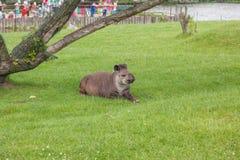 Южный - американский тапир Стоковое фото RF