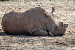 Южный белый носорог лежа вниз в песке стоковое изображение