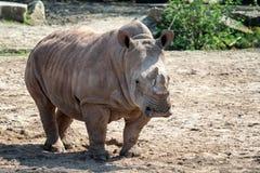 Южный белый Rhinoceros стоковые фото