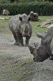 Южный белый Rhinoceros Стоковое Изображение