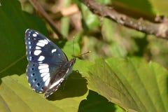 Южный белый адмирал бабочка Стоковое Фото