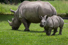 Южный белый носорог & x28; Simum& x29 simum Ceratotherium; стоковое изображение