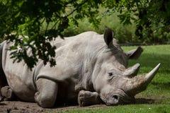 Южный белый носорог & x28; Simum& x29 simum Ceratotherium; стоковая фотография