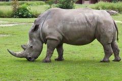 Южный белый носорог & x28; Simum& x29 simum Ceratotherium; стоковые изображения