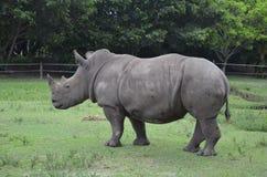 Южный белый Rhinoceros Стоковое Изображение RF