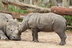 Южный белый Rhinoceros Стоковые Фотографии RF