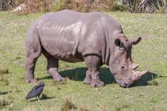 Южный белый Rhinoceros Стоковое фото RF
