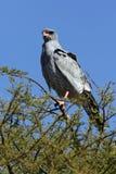 Южный бледный Goshawk Chanting - Ботсвана Стоковое Изображение RF