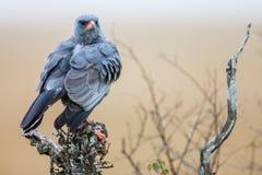Южный бледный ястреб-тетеревятник Chanting (canorus) Melierax, Южная Африка Стоковые Изображения RF
