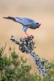 Южный бледный ястреб-тетеревятник Chanting (canorus) Melierax, Южная Африка Стоковое фото RF