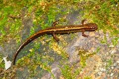 Южный 2-выровнянный саламандр Индиана Стоковое Изображение RF