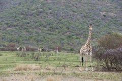 Южный жираф Стоковые Изображения RF