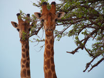 Южный жираф Стоковая Фотография RF