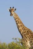 Южный жираф, (camelopardalis Giraffa), Южно-Африканская РеспублЍ стоковая фотография rf