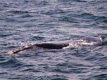 Южный конец правильного кита вверх Стоковое Изображение