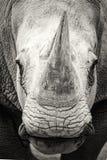 Южный крупный план белого носорога черно-белый Стоковое Изображение RF