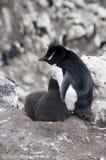 Южный пингвин Rockhopper с двойным зеленым юнцом стоковые фотографии rf