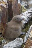 Южный приполюсный цыпленок поморникового который спрятал среди утесов Стоковая Фотография RF