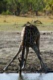 Южный сетчатый жираф выпивая с друзьями Стоковое фото RF